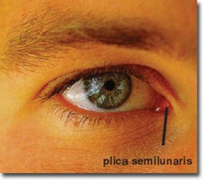 plica_semilunari1
